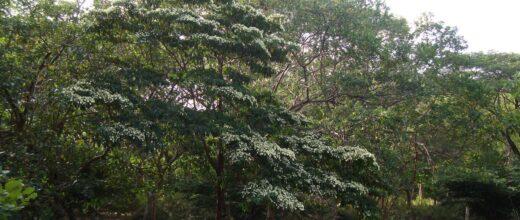 27 árbol de madroño-min