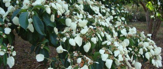 28 detalle de la flor del madroño-min
