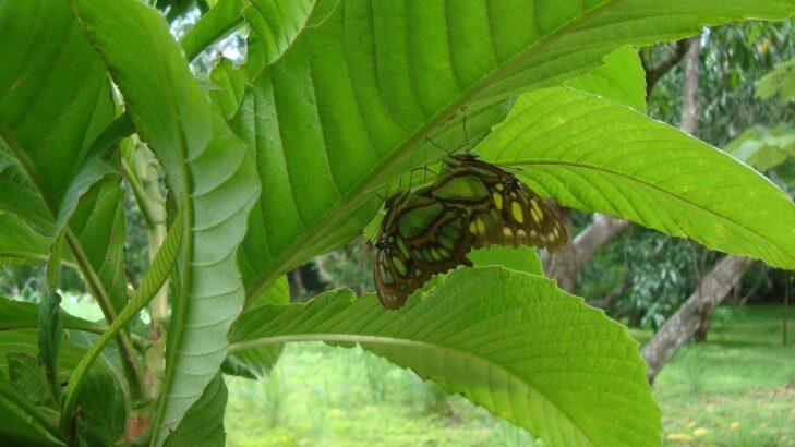 70-b mariposas aparéandose-min