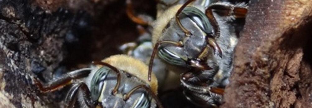 abejas-jicote-2