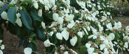 flor-madrono